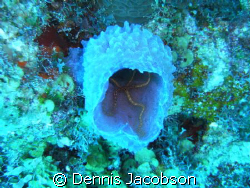 brittle star in azure vase sponge- unexpected florescent ... by Dennis Jacobson